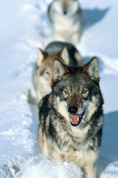 狼の画像 p1_36